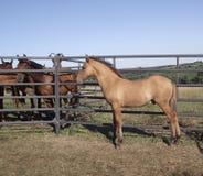 Cavalo e potro nas penas Imagem de Stock