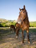 Cavalo e potro no pasto do verão Imagens de Stock Royalty Free