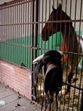 Cavalo e sela no estábulo Foto de Stock Royalty Free