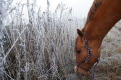 Cavalo e uma grama da neve Fotografia de Stock Royalty Free