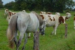 Cavalo e vacas junto Imagem de Stock Royalty Free