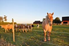 Cavalo e vitelas Imagens de Stock Royalty Free