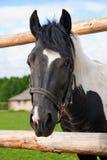 Cavalo em sua cerca Imagem de Stock Royalty Free