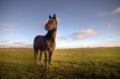 Cavalo em um campo de grama verde fotografia de stock