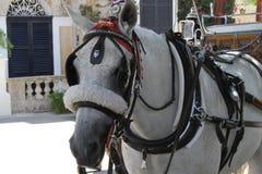 Cavalo em um carro Fotos de Stock