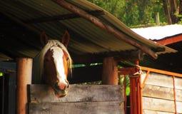 Cavalo em um celeiro Fotografia de Stock Royalty Free