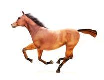 Cavalo em um galope em um fundo branco. Fotos de Stock Royalty Free