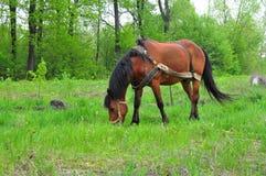 Cavalo em um pasto Foto de Stock