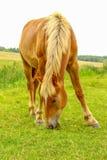 Cavalo em um prado Fotografia de Stock Royalty Free