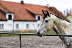 Cavalo em um prado em uma exploração agrícola no Polônia oriental Imagens de Stock