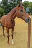 Cavalo em um rancho imagens de stock