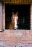 Cavalo em uma caixa que olha me Fotos de Stock Royalty Free