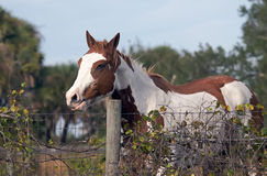 Cavalo em uma cerca Imagens de Stock Royalty Free