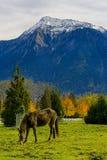 Cavalo em uma exploração agrícola no Columbia Britânica, Canadá Imagem de Stock