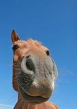 Cavalo engraçado Imagens de Stock Royalty Free