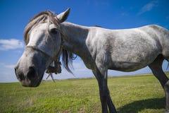 Cavalo engraçado Foto de Stock Royalty Free