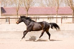 Cavalo equestre Fotos de Stock Royalty Free