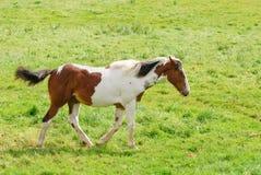 Cavalo ereto fotografia de stock