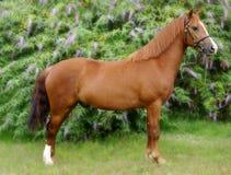 Cavalo ereto da castanha imagem de stock
