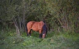 Cavalo ereto isolado Imagens de Stock