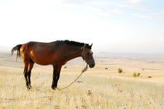 Cavalo ereto isolado Fotografia de Stock Royalty Free