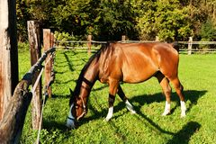 Cavalo ereto isolado Fotografia de Stock