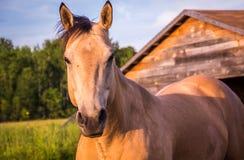 Cavalo ereto isolado Imagens de Stock Royalty Free