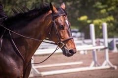 Cavalo ereto isolado Foto de Stock Royalty Free