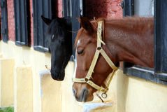 Cavalo ereto isolado foto de stock