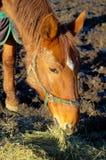 Cavalo europeu do warmblood na alimentação de inverno no feno Fotografia de Stock Royalty Free