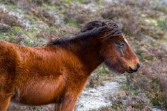 Cavalo farpado Fotografia de Stock Royalty Free