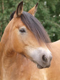 Cavalo Headshot Imagens de Stock