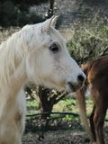 Cavalo idoso no perfil na exploração agrícola imagens de stock royalty free
