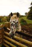 Cavalo incomum do Appaloosa fotografia de stock royalty free