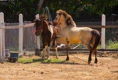 Cavalo irritado imagens de stock royalty free