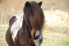 Cavalo islandês Fotos de Stock