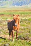 Cavalo islandês Imagem de Stock
