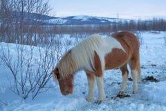 Cavalo islandês Fotografia de Stock