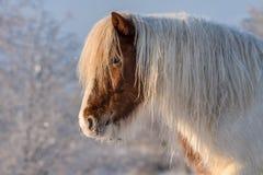 Cavalo islandês branco e marrom no tempo de inverno de congelação fotografia de stock royalty free