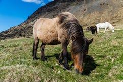 Cavalo islandês mim Fotografia de Stock Royalty Free