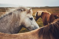 Cavalo islandês no campo da paisagem cênico da natureza de Islândia O cavalo islandês é uma raça do cavalo localmente foto de stock royalty free