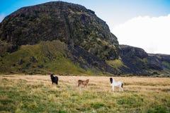 Cavalo islandês perto da montanha Imagem de Stock Royalty Free
