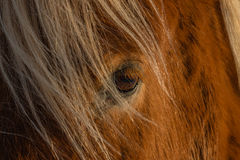 Cavalo islandês, Reykholt, círculo dourado, Islândia fotografia de stock royalty free