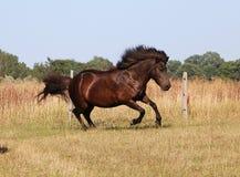 Cavalo islandês running no prado Imagem de Stock