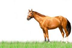 Cavalo isolado imagens de stock royalty free