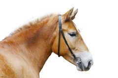 Cavalo isolado Fotografia de Stock