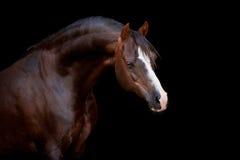 Cavalo isolado no preto Imagens de Stock