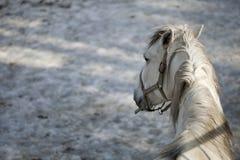 Cavalo de Lipizzan Foto de Stock