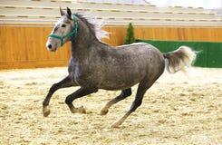 Cavalo lipizzan da elite que galopa através da arena fotografia de stock royalty free