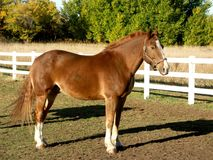 Cavalo majestoso Fotografia de Stock Royalty Free